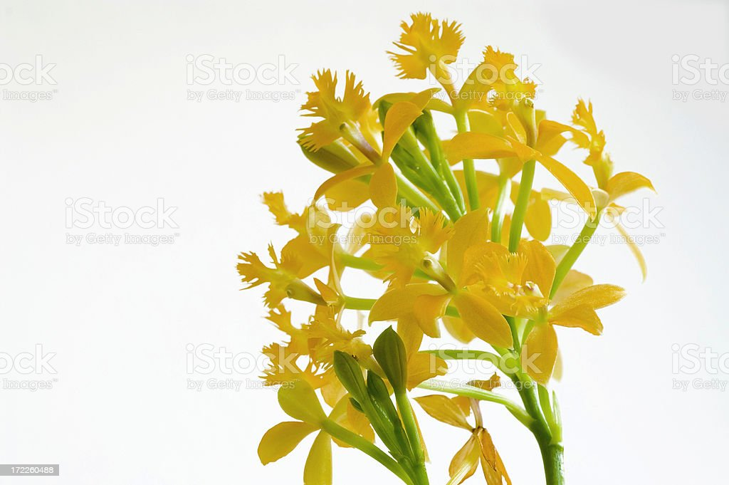 Orchid orange royalty-free stock photo