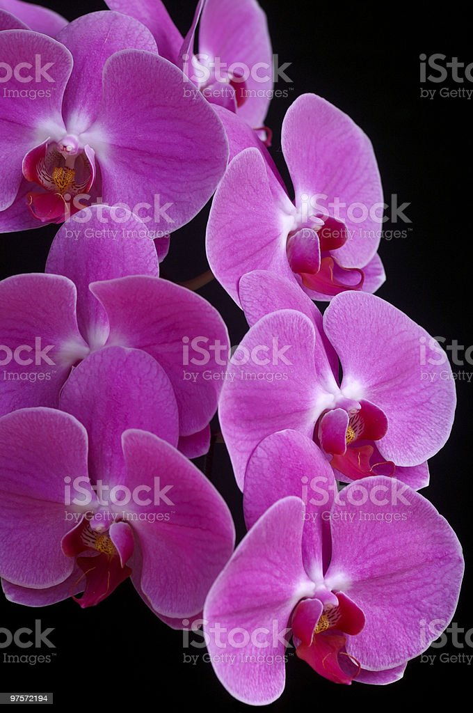 orchid phalaenopsis royalty-free stock photo