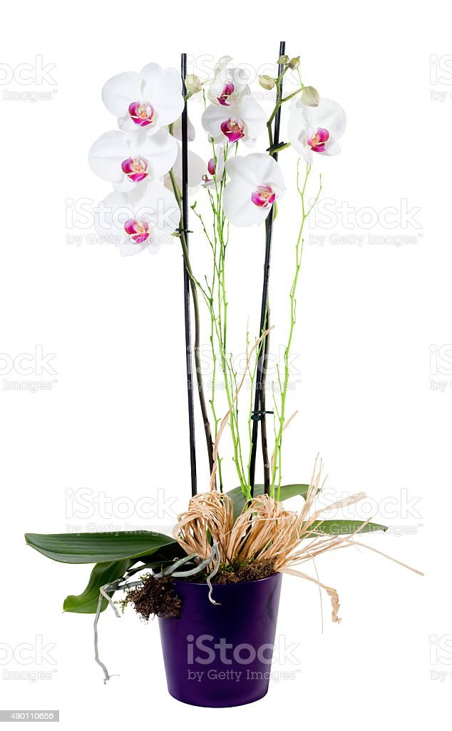 Orchid phalaenopsis white on flowerpot isolated stock photo