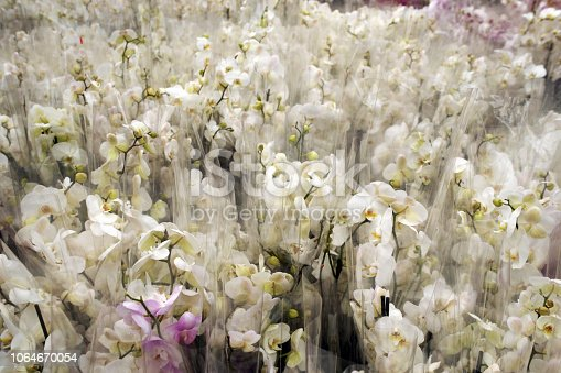thousands of white orchids