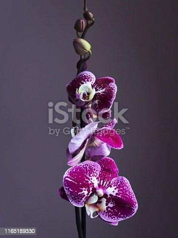 Minimalistic purple orchid