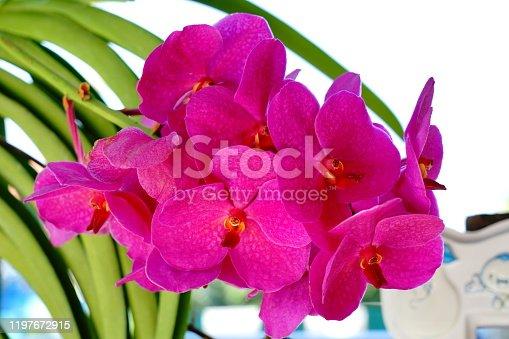 Beautiful pink vanda orchid flower