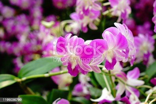 Purple orchids against an out of focus background