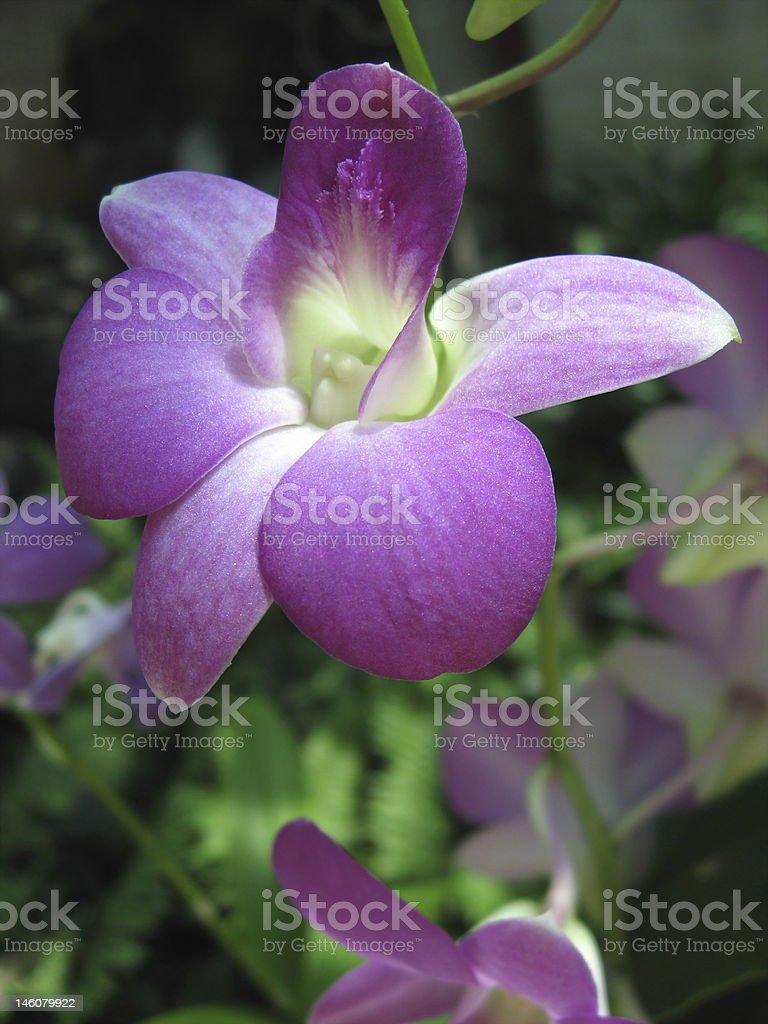 Orchid (Dendrobium hybrid) stock photo
