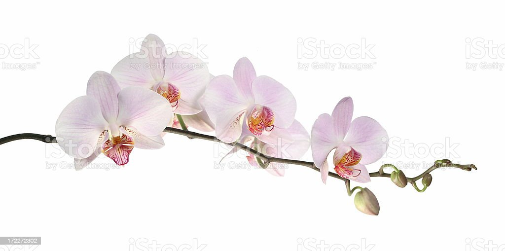 Orchid (isolated on white) stock photo