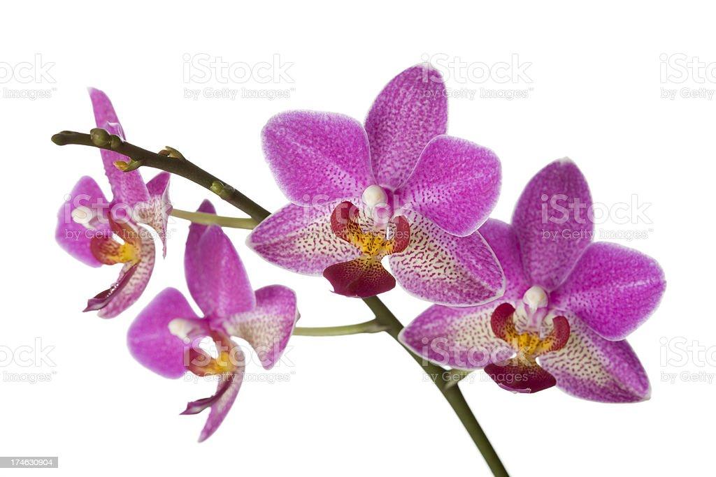 Orchid (Phalaenopsis) royalty-free stock photo