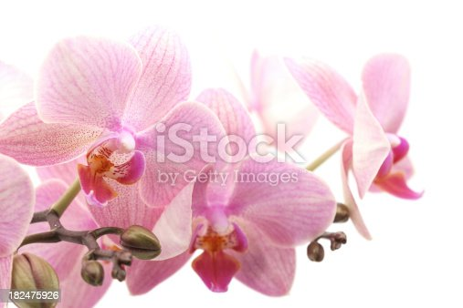 Violet orchid isolated on white