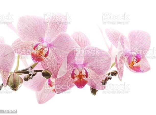 Orchid picture id182488505?b=1&k=6&m=182488505&s=612x612&h=jjhgcszutjv1 pacfwx4s nw vcavmt0oxfuznbal9y=