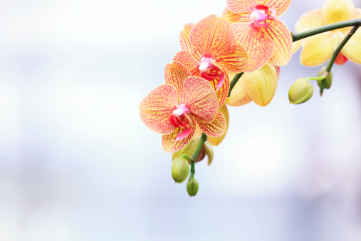 Beautiful yellow & red orchid on an orchid exhibition.
