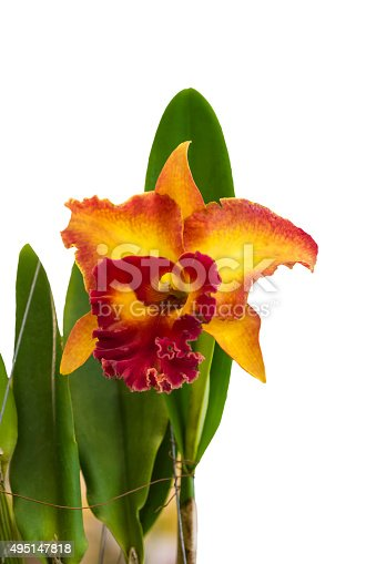 Cattleya Orchid isolated on  white background.