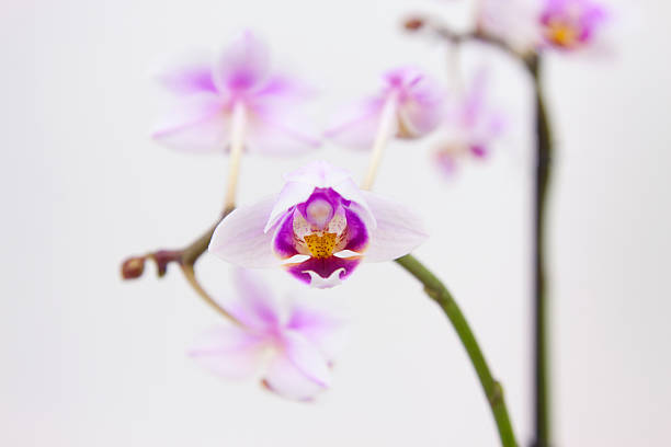 orchid – Foto