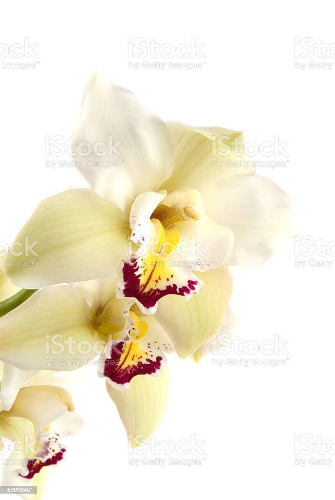 Orchid Lizenzfreies stock-foto