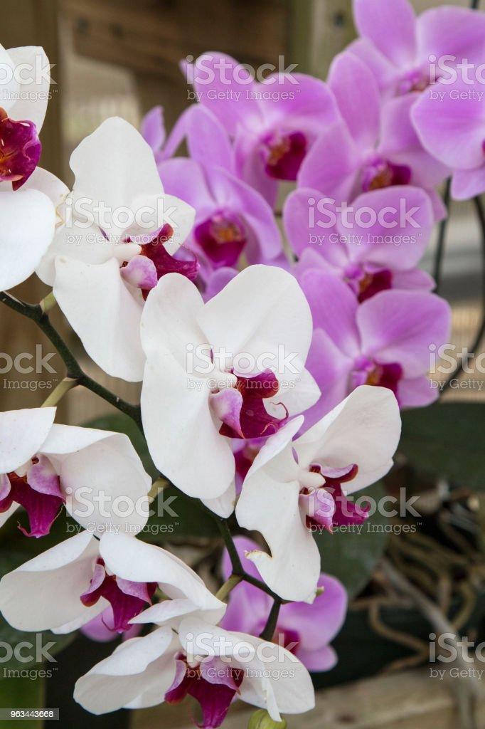 Orkide - Royalty-free ABD Stok görsel