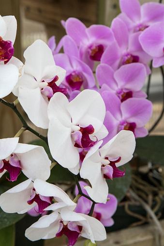 Orkide Stok Fotoğraflar & ABD'nin Daha Fazla Resimleri
