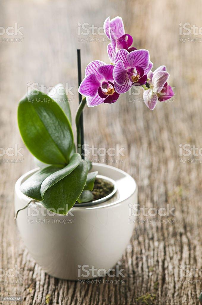 Orchid royaltyfri bildbanksbilder