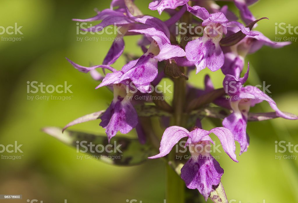 Orchid. royalty-free stock photo