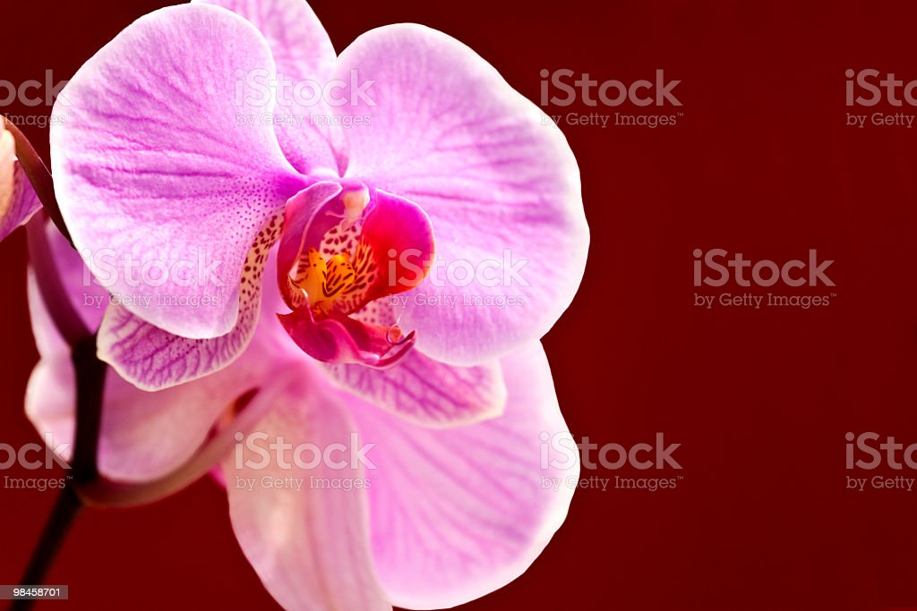 Orchidea foto stock royalty-free