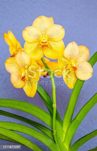 Close up of Vanda Orchid plant