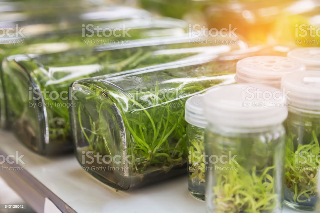 orchid plants tissue culture botanic nursery growing in bottle at laboratory stock photo
