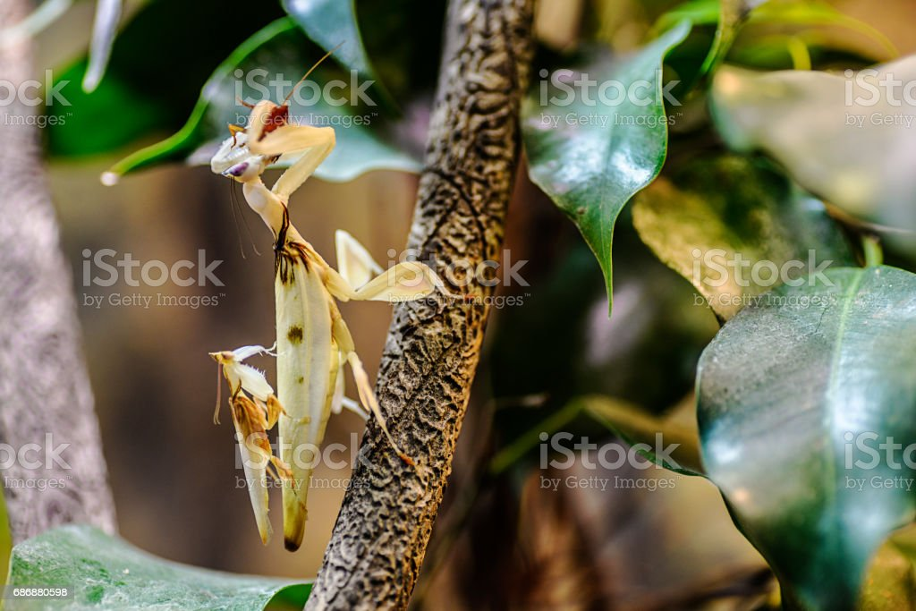 Orchid praying mantis mating stock photo