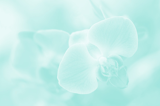 Orchid Pretty Ethereal Pastel Teal Light Blue Mint Green Flowers Background Turquoise Tropical Floral Natural Elegance Ombre Beautiful Pattern Close-Up Copy Space Cute Macro Photography Soft Selective focus