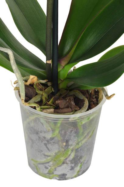 Orchideenwurzeln im transparenten Blumentopf. Orchideenwurzeln und Blätter isoliert auf weißem Hintergrund – Foto