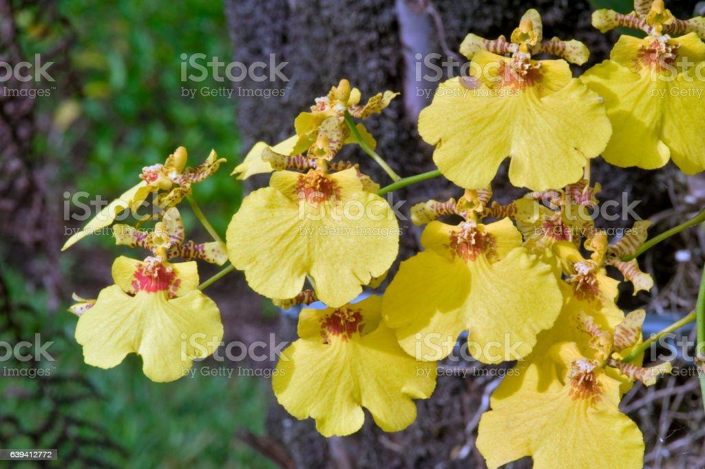 Orchid species of the genus Oncidium stock photo