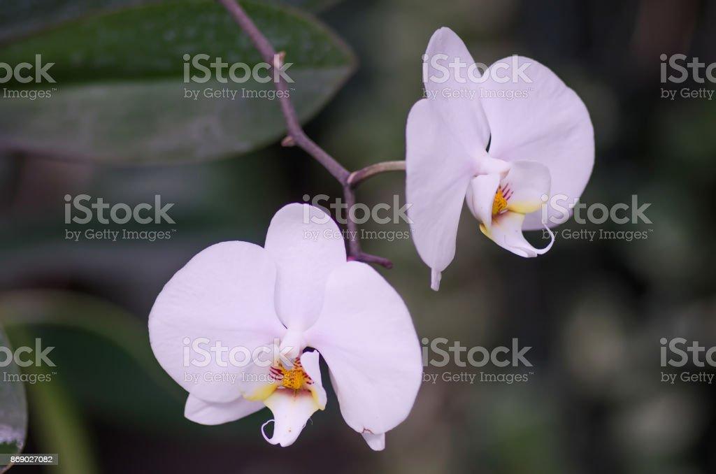Orquídeas dos flores - foto de stock