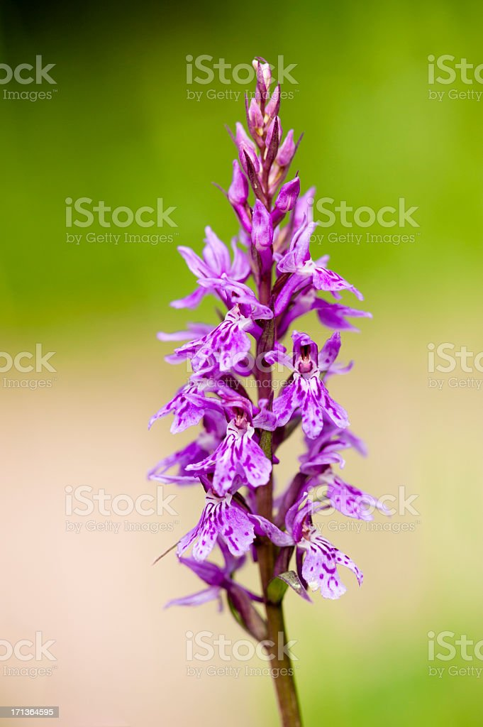 Orchid - wildflower royalty-free stock photo