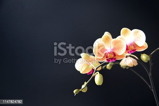 Orchid With Black Background
