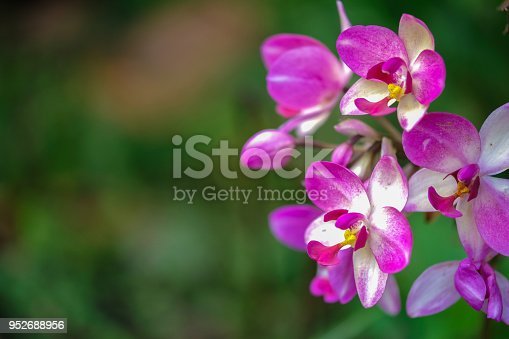 Spathoglottis orchid with magenta pink color. This orchid is generally found on the ground level in the rain forest of Thailand.