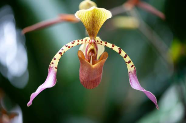 Orchidée aux pois Polka - Photo