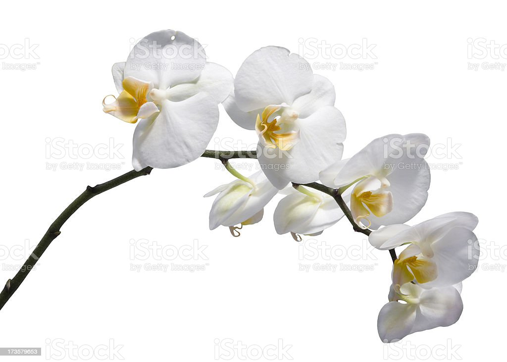 Orchid (Clipping path) XXL royalty-free stock photo