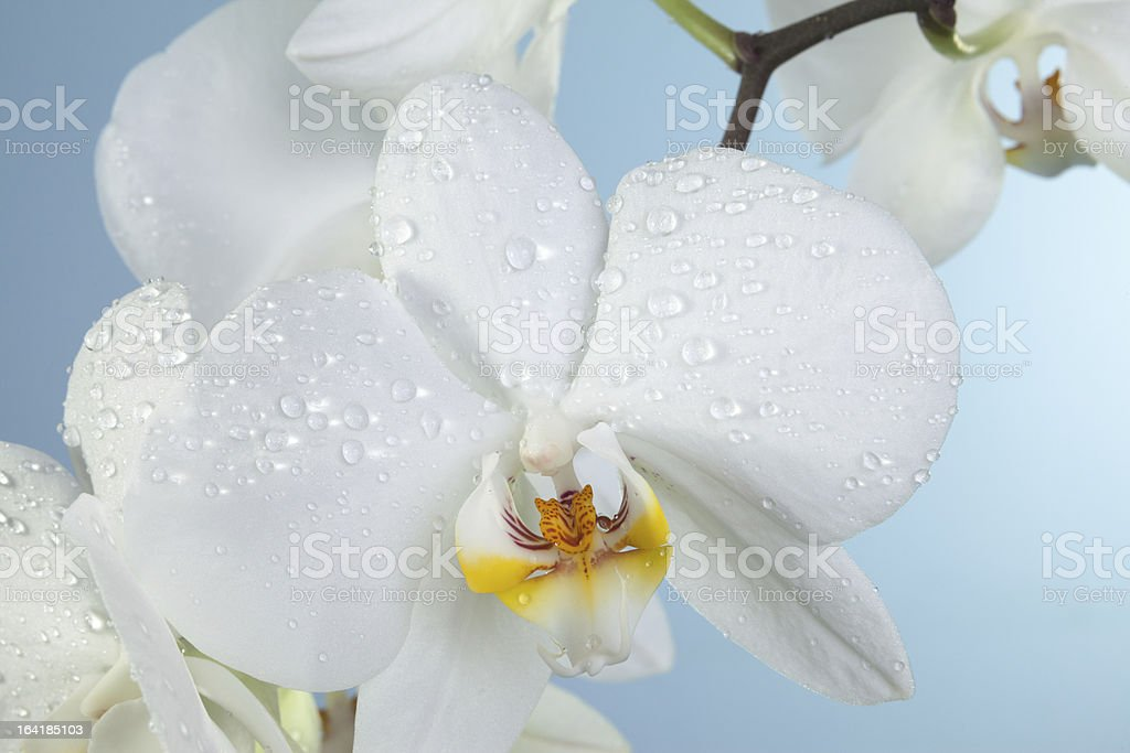 Orchidaceae and waterdrops royalty-free stock photo