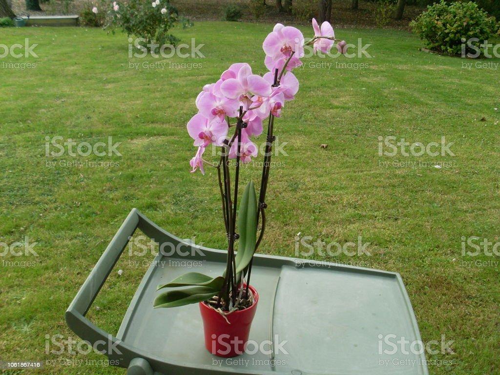 Orchidèe Rose Sur Table De Jardin Stockfoto und mehr Bilder ...