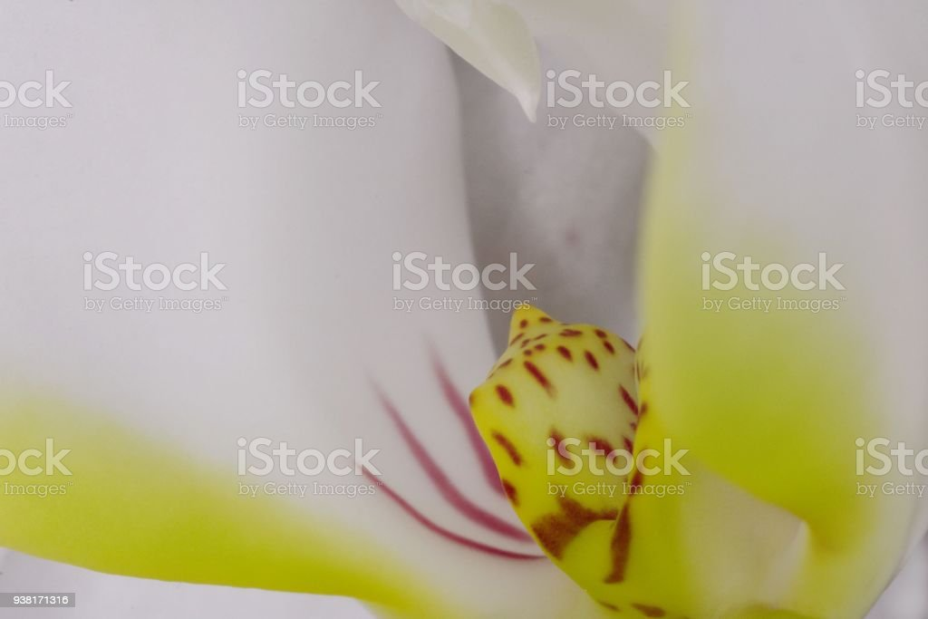 Orchidea in macro - foto stock