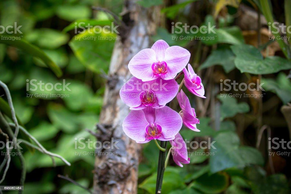 Orchidea Phalaenopsis stock photo