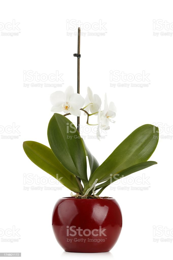 Orchidee on white royalty-free stock photo