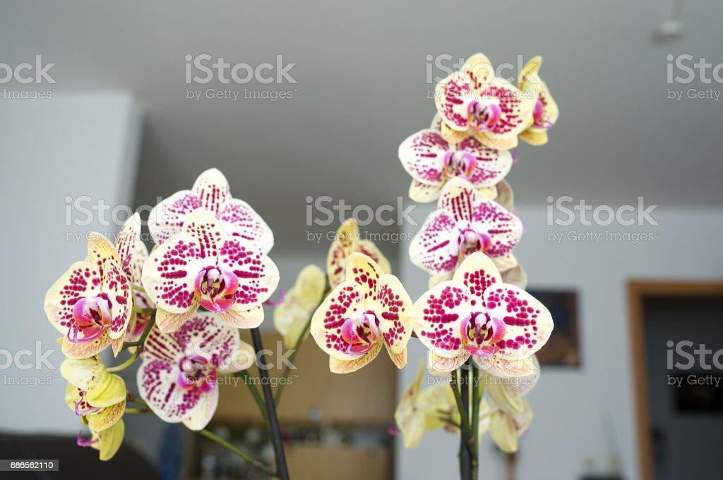 Orchideenpracht royalty free stockfoto