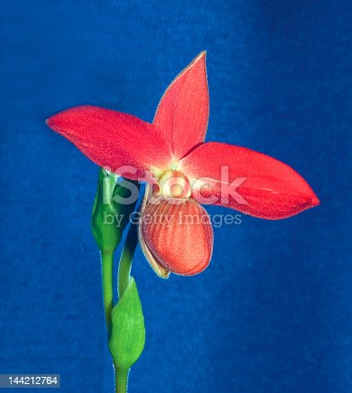 Phregmipediom orchid
