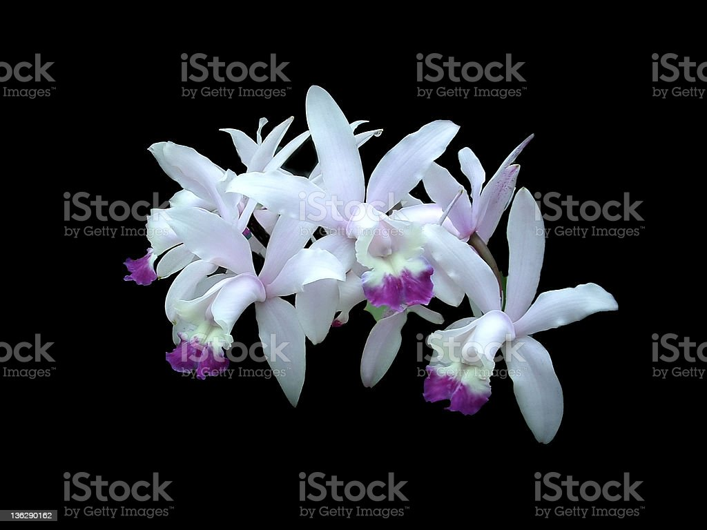 Orchids 3 stock photo