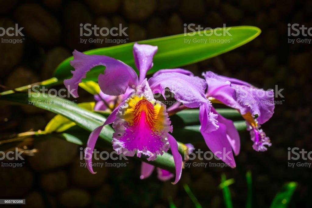 Orchideen Cattleya – Foto