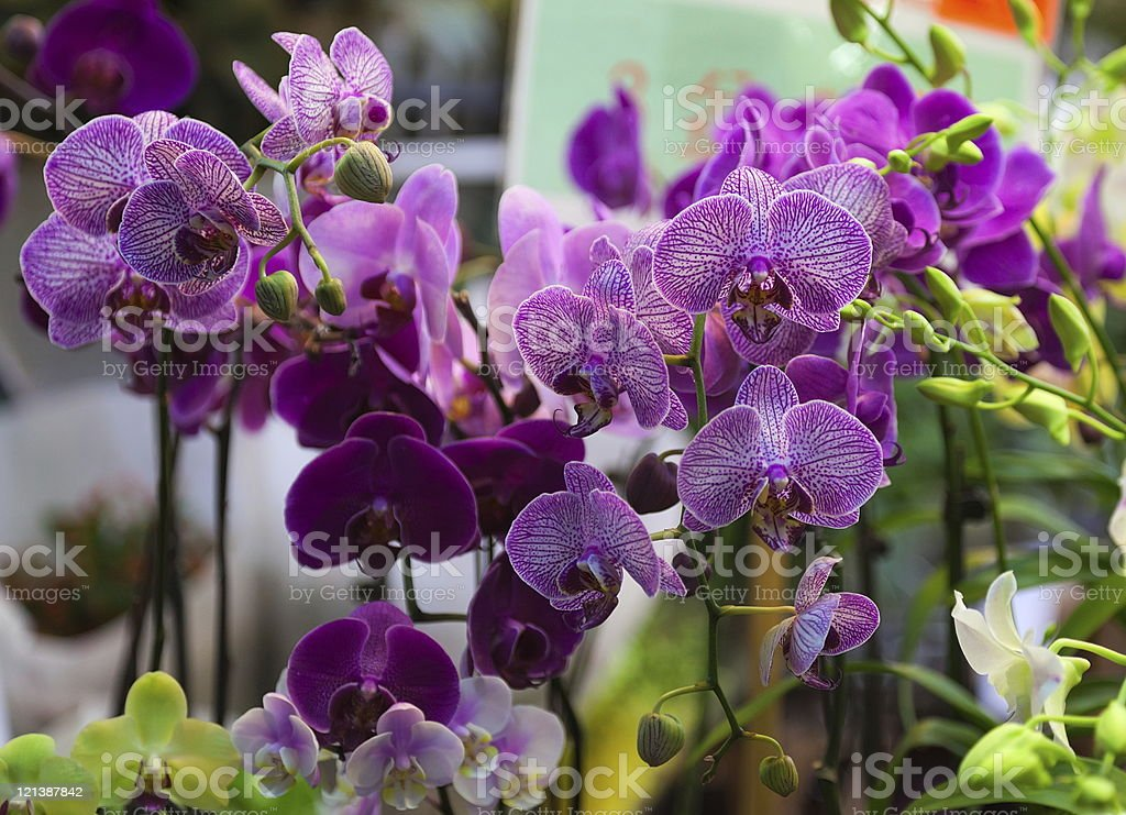 Orchids. Flower market. Hong Kong. - Royalty-free Abundance Stock Photo