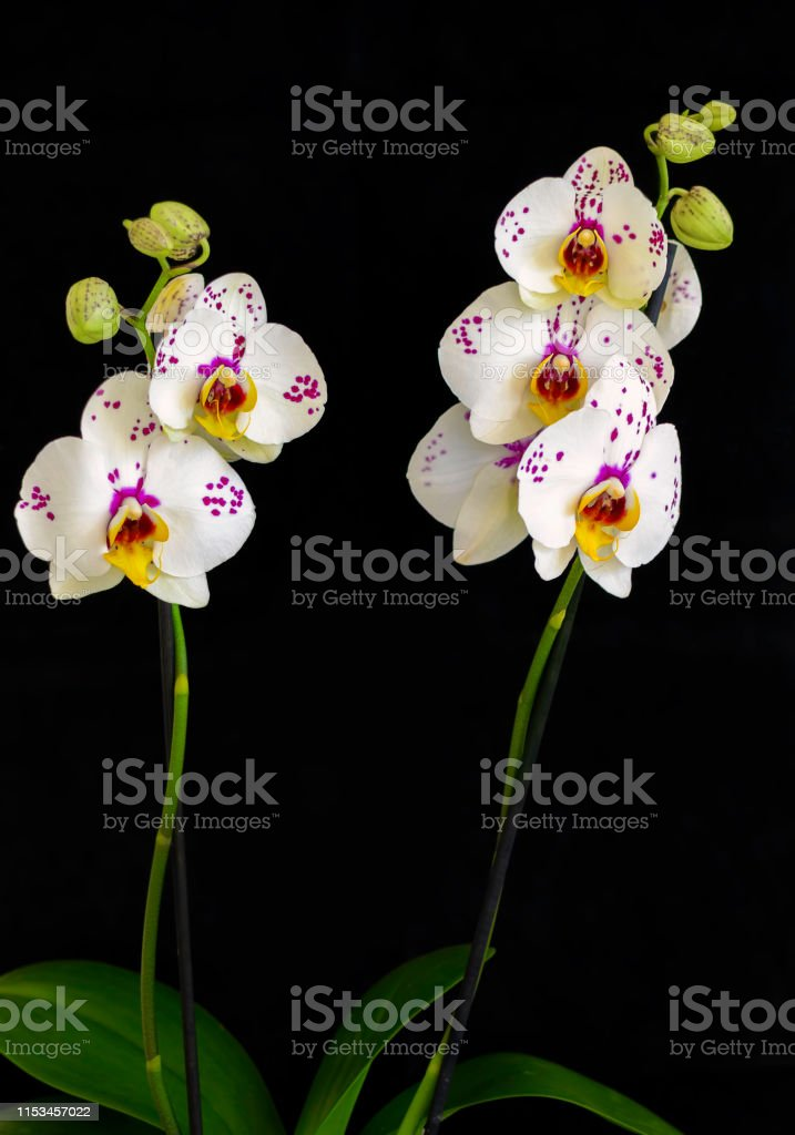 Orchids Flowers On Banch On Black Background Flowers Of Blossoming