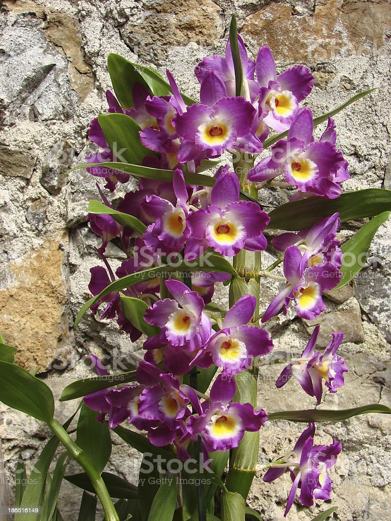 Orchids flowers royalty-free stock photo