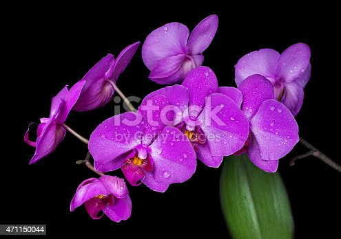 Purple orchid flowers covered with drops of water isolated on black background