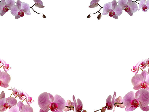 Royalty Free Orchid Border Pictures, Images and Stock Photos - iStock