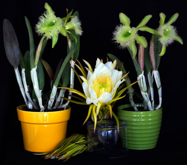 Orchids Green Digbayana stock photo