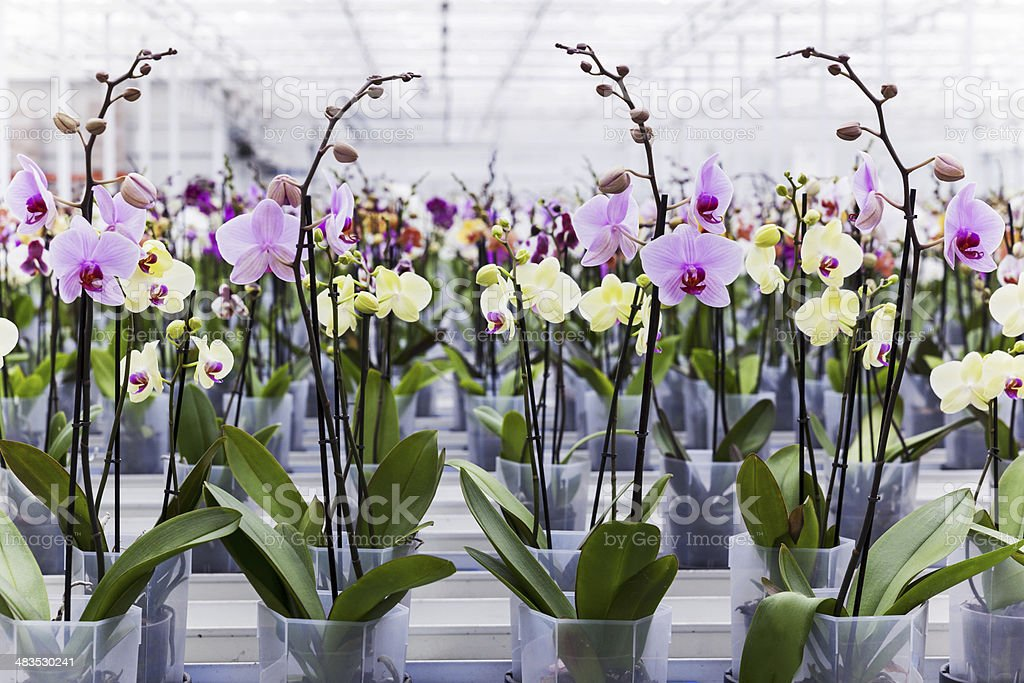 Orchids in greenhouse stock photo