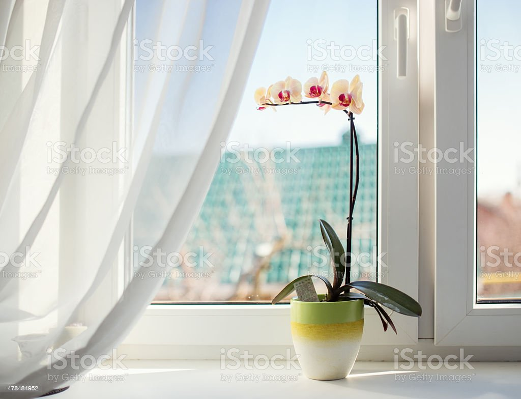 Orchids in pot on sunny window sill stock photo